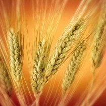 grain-of-wheat